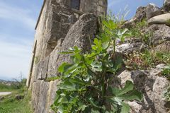Plant on the wall. Ancient old stone wall, time destroys and age. Wild plant on the wall. Ancient old stone wall, time destroys and age Royalty Free Stock Images