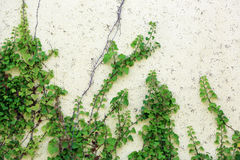 Plant on the wall Royalty Free Stock Photos