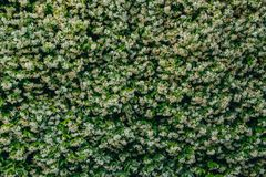 Plant wall with flowers, background and texture royalty free stock images