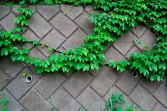 Plant on the wall is taken around Tokyo, Japan. It was pictured in the summer season.  stock photos