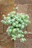 Plant on wall Tuscany Royalty Free Stock Image