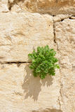 Plant on a wall Royalty Free Stock Images