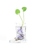 Plant in water. Tiny plant in a glass bottle, isolated Royalty Free Stock Images