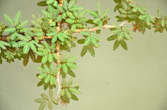 Plant in the water. Cross fresh liana buds in the water Stock Photos