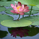 Plant: the water reflected lotus Stock Image