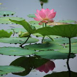 Plant: the water reflected lotus Royalty Free Stock Photography