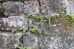 Plant weinig boom op oude bakstenen en Oude concrete muurachtergrond Royalty-vrije Stock Fotografie