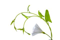 Plant with the white flower and green leaves Stock Image