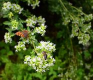 Plant Thymus vulgaris with bee on it. Plant with white flowers -Thymus vulgaris - and with bee on it. There are also brown butterfly which is not in focus stock photo