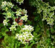 Plant Thymus vulgaris with brown butterfly on it. Plant with white flowers -Thymus vulgaris - and with brown butterfly on it. There are also bees which they are royalty free stock image