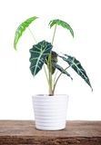 Plant in white pot. Green plant In the white pot on the aged wooden table royalty free stock photography