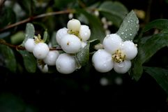 Plant. White plant with rain drops Stock Image