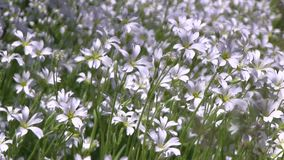 Plant of white wildflowers on wind at sunny summer day. Plant of white wildflowers on a wind at sunny summer day stock video
