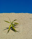 Plant. Wild lonely plant on a dry sandy soil Saharen Royalty Free Stock Images
