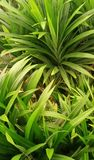 Green n fresh leafs royalty free stock image