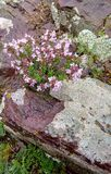 Wild Thyme growing on rocky grounds stock images