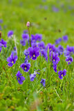 Plant of wild violet Stock Photography