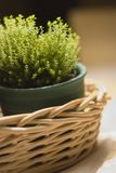 Plant in a willow basket Royalty Free Stock Photos