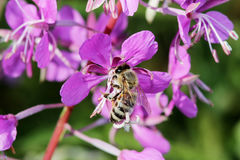 Plant willow herb Chamerion angustifolium are blooming And the bee pollinates the flower. royalty free stock images
