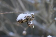 Snow on branches and dead fruit Stock Images