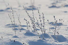 Plant in winter. In the frost under the snow Royalty Free Stock Photography