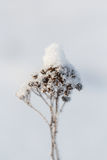 Plant in winter. In the frost under the snow, with separately discernible snowflakes Royalty Free Stock Photography