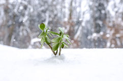 Plant in the winter growing out of snow Royalty Free Stock Photo