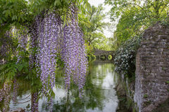 Plant of wisteria and historic bridge in the distance in the Gar Stock Image