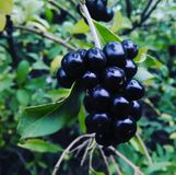 This is a beautiful plant - `Wolfberry`. stock photography