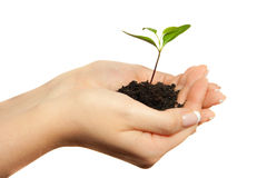 Plant in woman hands Royalty Free Stock Image