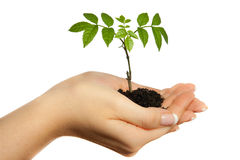 Plant in woman hands Stock Photography