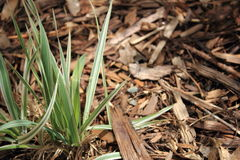 A plant and wood chips Stock Images