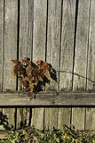 Plant on Wood Fence. A copper colored leaved plant on an aged wooden fence Stock Photo