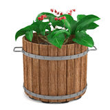 Plant in the wooden barrel Stock Images