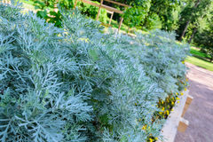 Plant wormwood on the flower bed in the Park. The wormwood bushes in the Park. Green Park on a Sunny day with grass and trees stock images