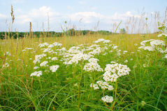 Landscape of plant yarrow with white flowers in meadow royalty free stock photo