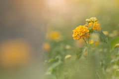 Plant with Yellow Flowers. In garden Royalty Free Stock Photo