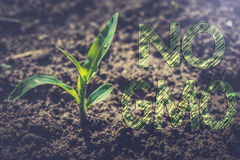 Plant of young corn Royalty Free Stock Photo