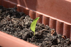 Plant. Young seedling growing in a pot Royalty Free Stock Photography