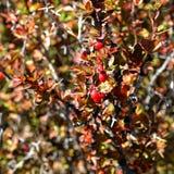The plant of yushan national park. The plant in yushan national park call Berberis morrisonensis Hayata Stock Image