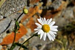 The plant of yushan national park. Call Chrysanthum leucanthemum Linn Royalty Free Stock Photography