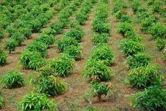 Plantação Fotos de Stock Royalty Free