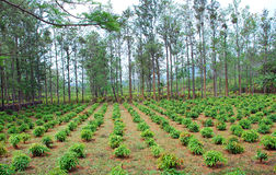 Plantação Fotografia de Stock Royalty Free