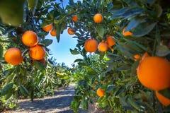 Plantação alaranjada em Califórnia EUA foto de stock