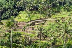 Plantação bonita do campo do terraço da almofada em Tegallalang durante o princípio da tarde Fotografia de Stock