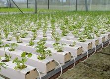 Plantação chinesa dos vegetais do aipo Imagens de Stock