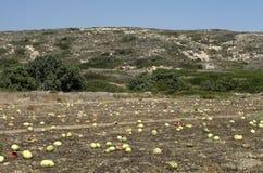 Plantação com passados melancias ao fim de setembro Fotografia de Stock