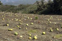 Plantação com passados melancias ao fim de setembro Imagens de Stock Royalty Free