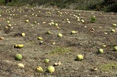 Plantação com passados melancias ao fim de setembro Fotos de Stock Royalty Free