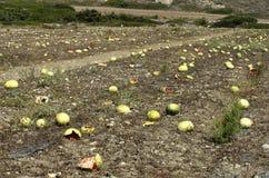 Plantação com passados melancias ao fim de setembro Imagem de Stock Royalty Free